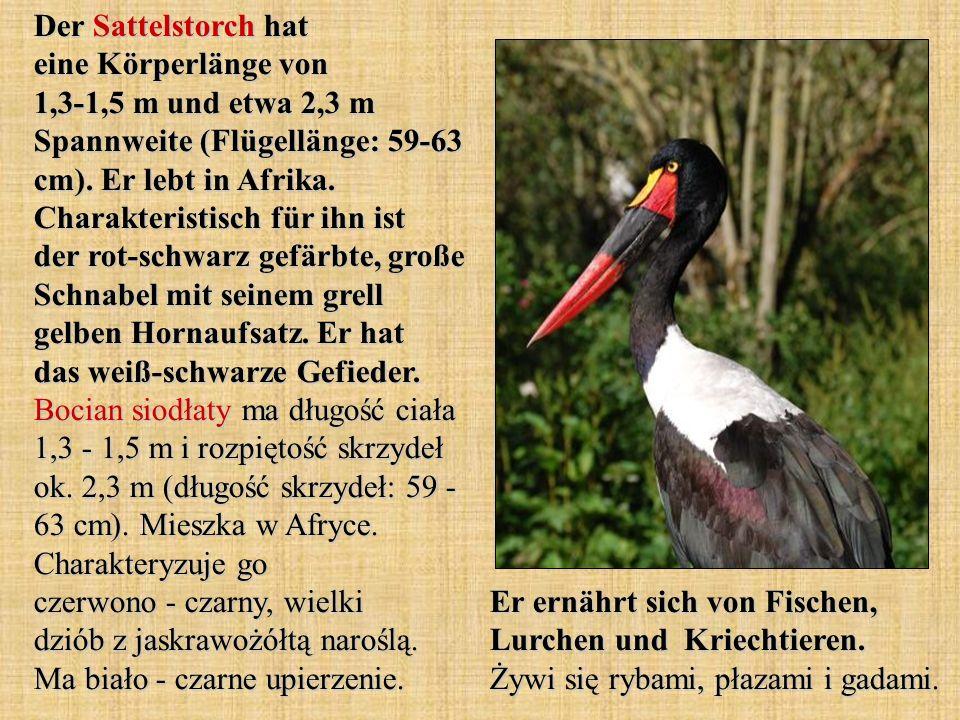 Der Sattelstorch hat eine Körperlänge von 1,3-1,5 m und etwa 2,3 m Spannweite (Flügellänge: 59-63 cm). Er lebt in Afrika. Charakteristisch für ihn ist der rot-schwarz gefärbte, große Schnabel mit seinem grell gelben Hornaufsatz. Er hat das weiß-schwarze Gefieder. Bocian siodłaty ma długość ciała 1,3 - 1,5 m i rozpiętość skrzydeł ok. 2,3 m (długość skrzydeł: 59 - 63 cm). Mieszka w Afryce. Charakteryzuje go czerwono - czarny, wielki dziób z jaskrawożółtą naroślą. Ma biało - czarne upierzenie.