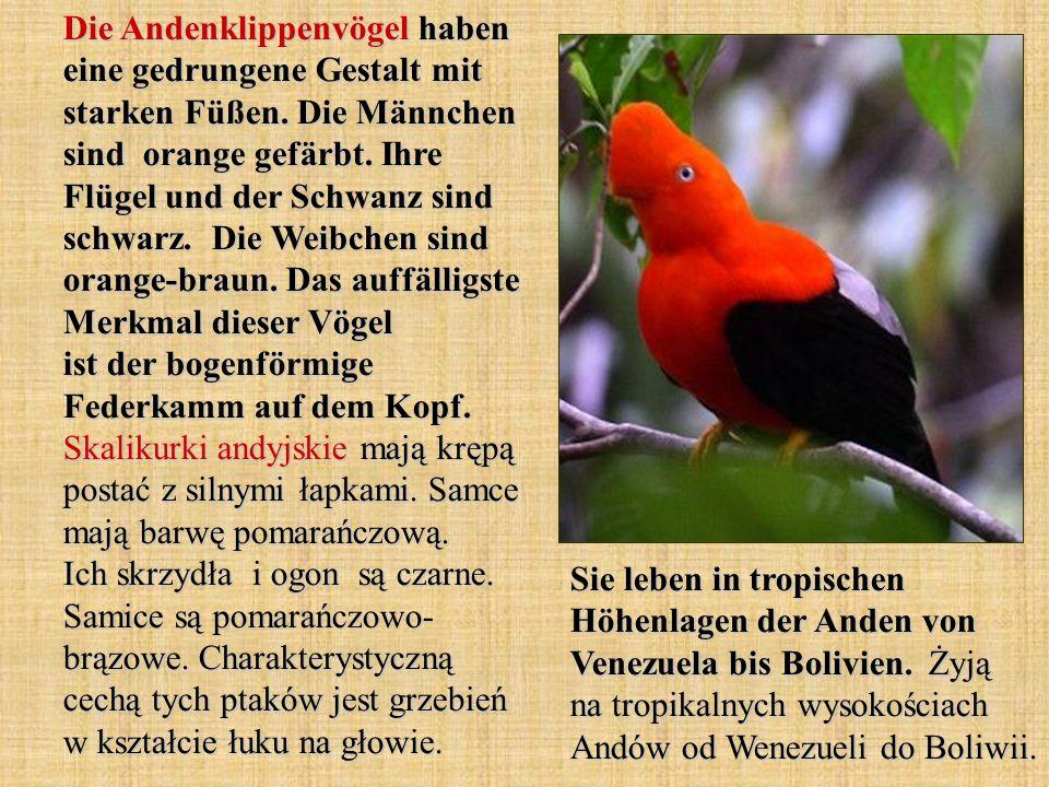 Die Andenklippenvögel haben eine gedrungene Gestalt mit starken Füßen