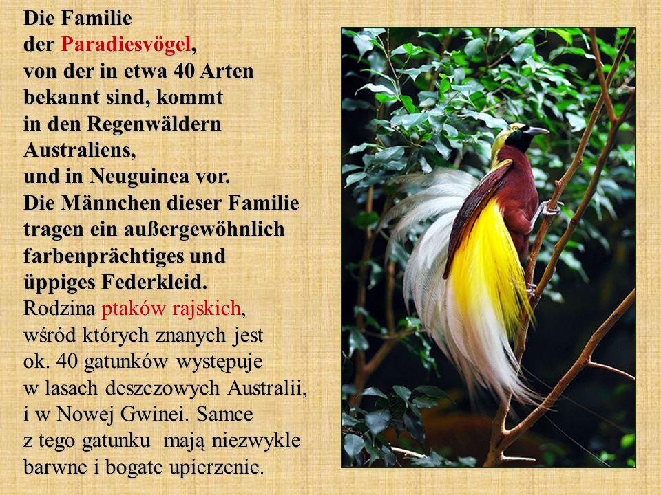 Die Familie der Paradiesvögel, von der in etwa 40 Arten bekannt sind, kommt in den Regenwäldern Australiens, und in Neuguinea vor.