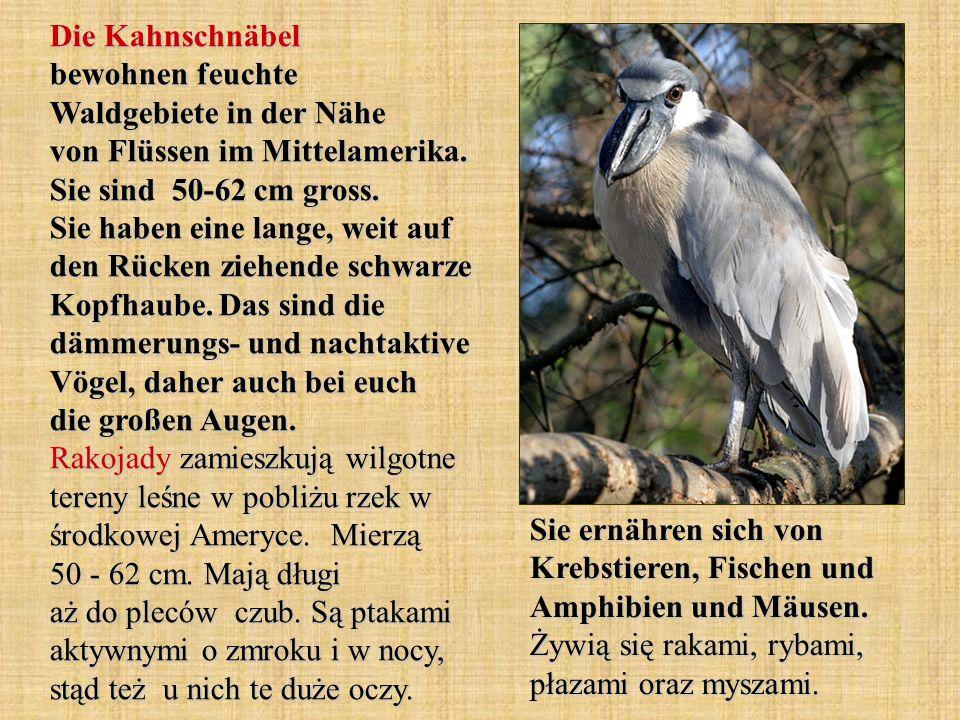 Die Kahnschnäbel bewohnen feuchte Waldgebiete in der Nähe von Flüssen im Mittelamerika. Sie sind 50-62 cm gross. Sie haben eine lange, weit auf den Rücken ziehende schwarze Kopfhaube. Das sind die dämmerungs- und nachtaktive Vögel, daher auch bei euch die großen Augen. Rakojady zamieszkują wilgotne tereny leśne w pobliżu rzek w środkowej Ameryce. Mierzą 50 - 62 cm. Mają długi aż do pleców czub. Są ptakami aktywnymi o zmroku i w nocy, stąd też u nich te duże oczy.
