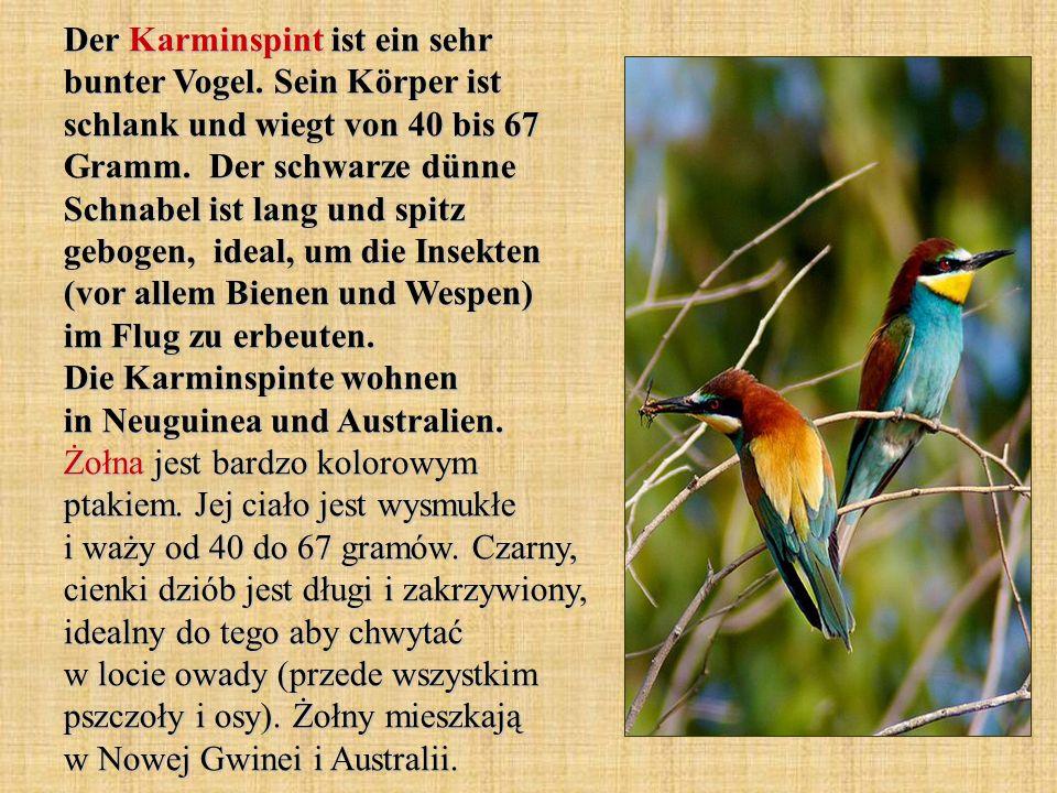 Der Karminspint ist ein sehr bunter Vogel