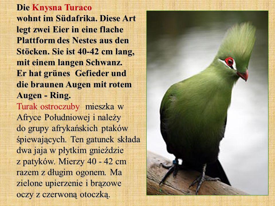 Die Knysna Turaco wohnt im Südafrika