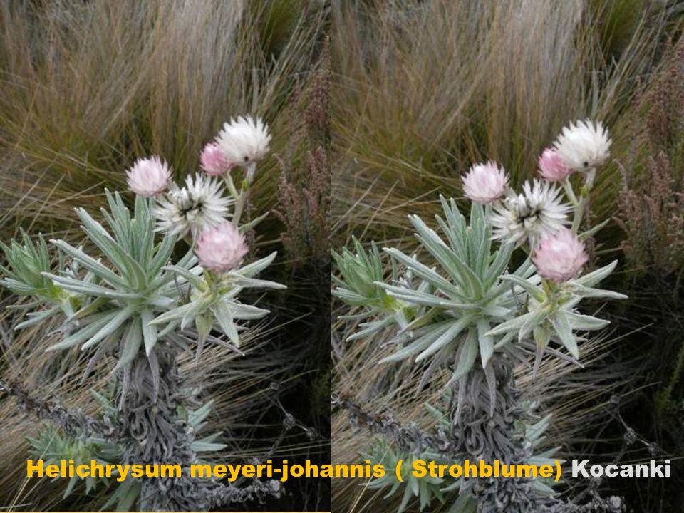 Helichrysum meyeri-johannis ( Strohblume) Kocanki