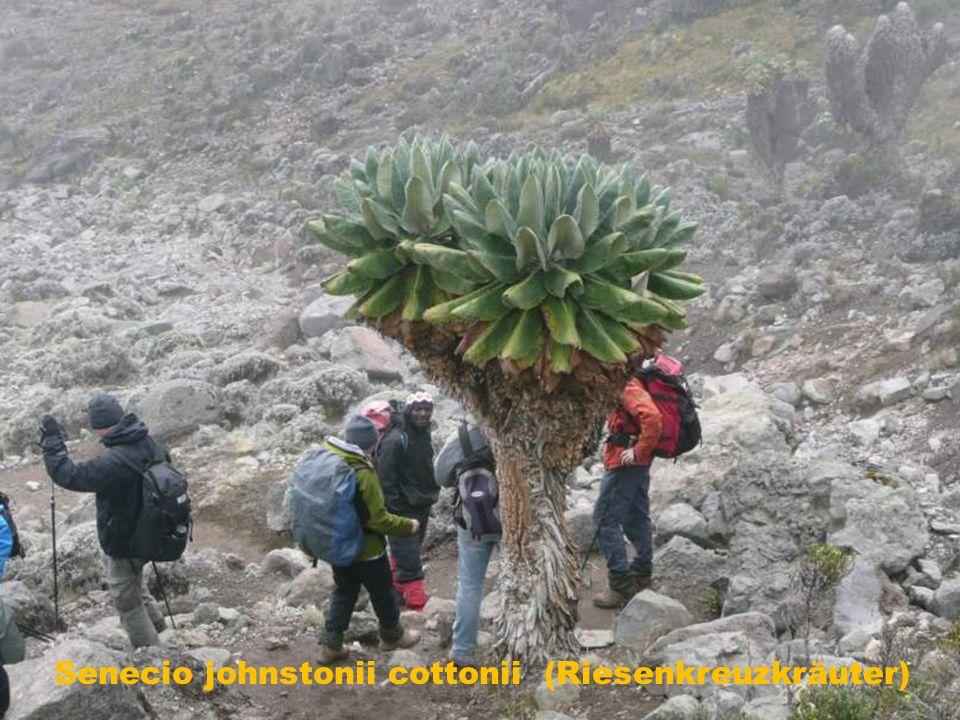 Senecio johnstonii cottonii (Riesenkreuzkräuter)
