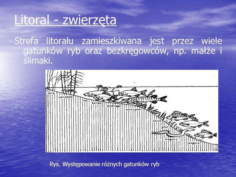 Litoral - zwierzętaStrefa litoralu zamieszkiwana jest przez wiele gatunków ryb oraz bezkręgowców, np. małże i ślimaki.