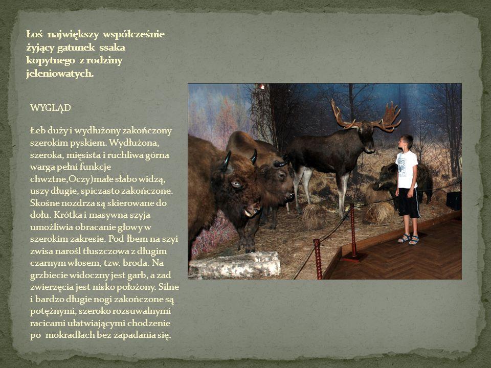 Łoś największy współcześnie żyjący gatunek ssaka kopytnego z rodziny jeleniowatych.