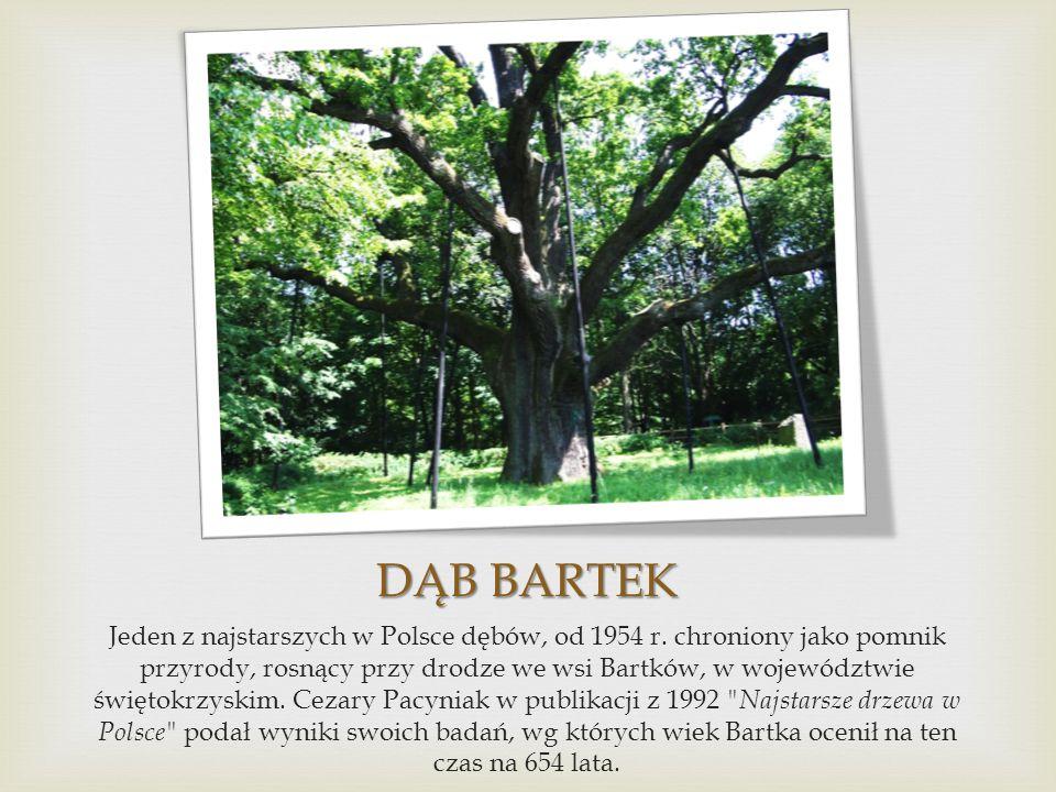 DĄB BARTEK