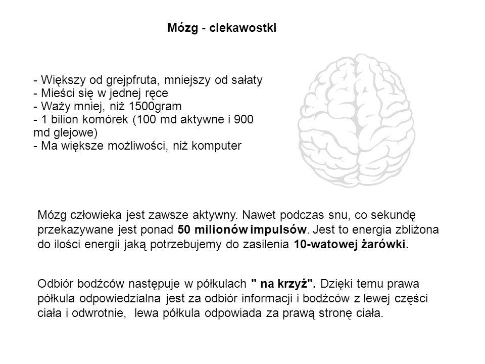 Mózg - ciekawostki - Większy od grejpfruta, mniejszy od sałaty. - Mieści się w jednej ręce. - Waży mniej, niż 1500gram.
