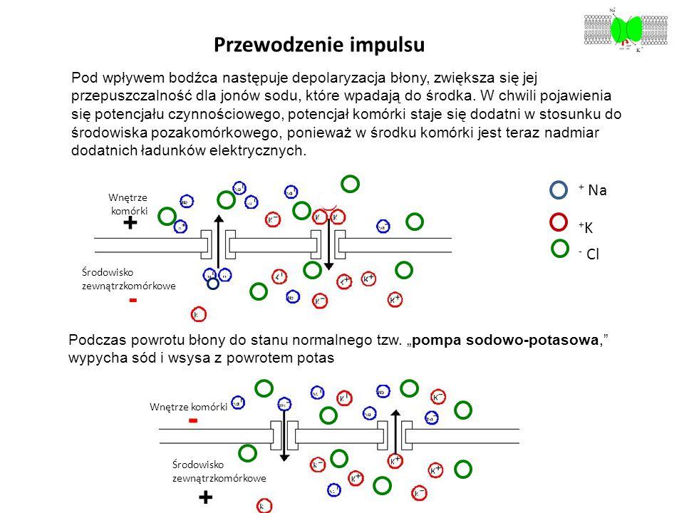 - + - + Przewodzenie impulsu + Na v +K - Cl