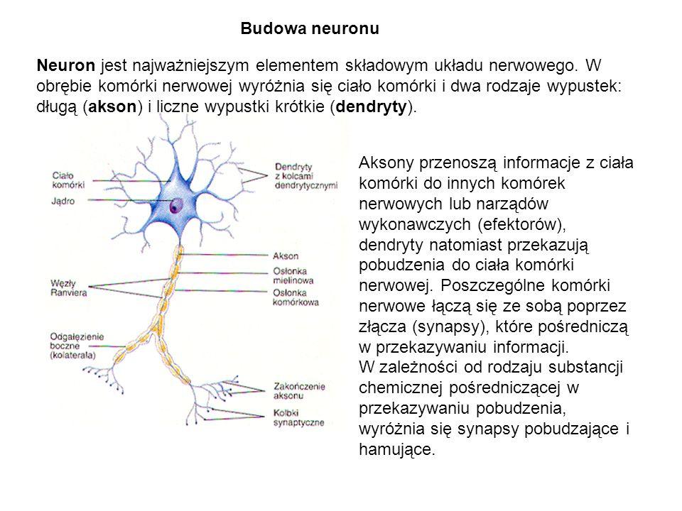 Budowa neuronu Neuron jest najważniejszym elementem składowym układu nerwowego. W.
