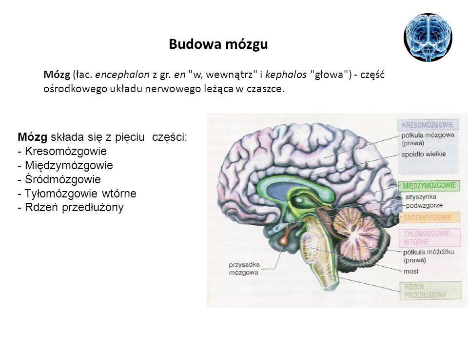 Budowa mózgu Mózg (łac. encephalon z gr. en w, wewnątrz i kephalos głowa ) - część ośrodkowego układu nerwowego leżąca w czaszce.