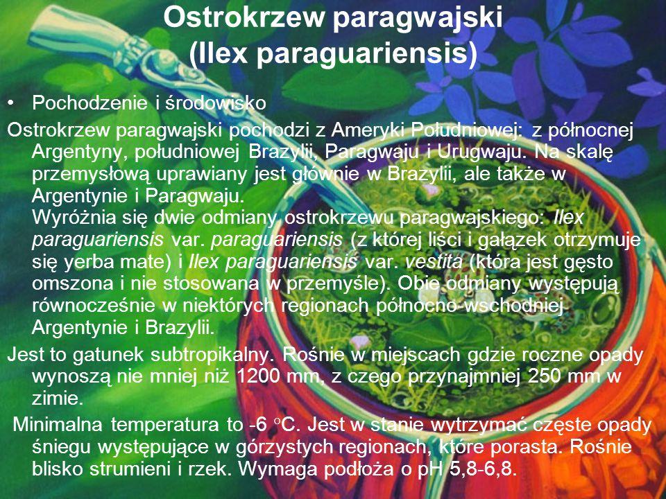 Ostrokrzew paragwajski (Ilex paraguariensis)
