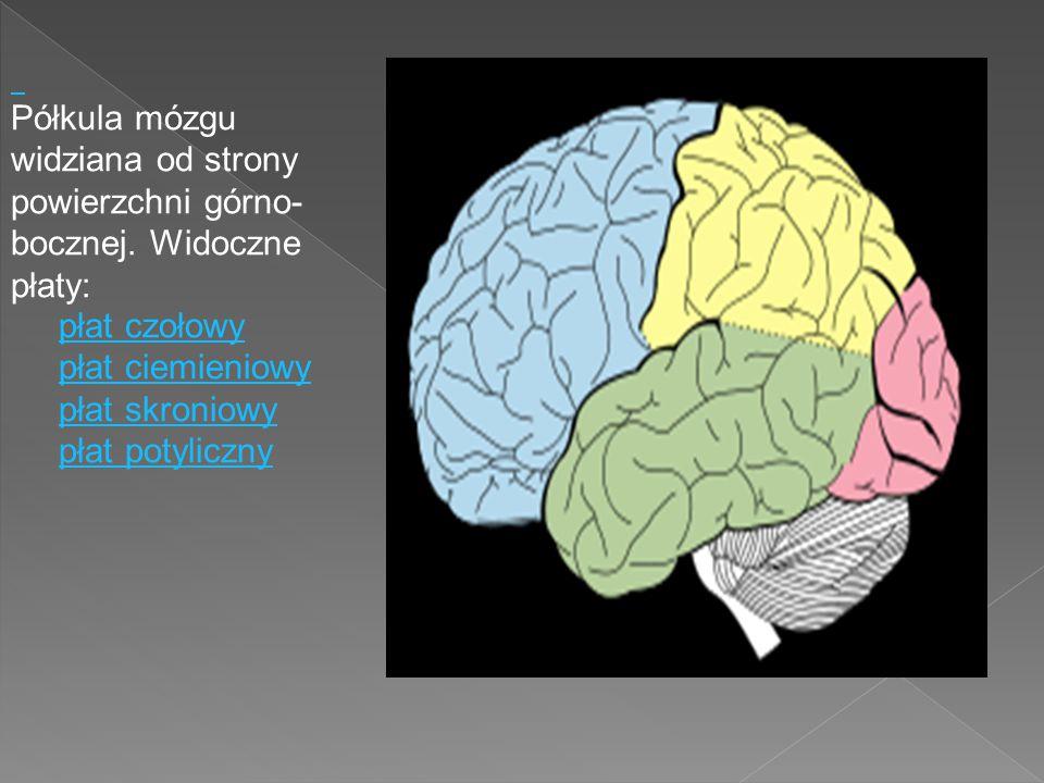 Półkula mózgu widziana od strony powierzchni górno-bocznej. Widoczne płaty: płat czołowy. płat ciemieniowy.