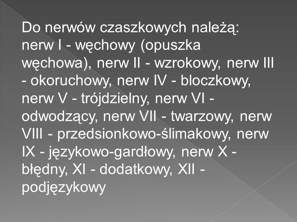 Do nerwów czaszkowych należą: nerw I - węchowy (opuszka węchowa), nerw II - wzrokowy, nerw III - okoruchowy, nerw IV - bloczkowy, nerw V - trójdzielny, nerw VI - odwodzący, nerw VII - twarzowy, nerw VIII - przedsionkowo-ślimakowy, nerw IX - językowo-gardłowy, nerw X - błędny, XI - dodatkowy, XII - podjęzykowy