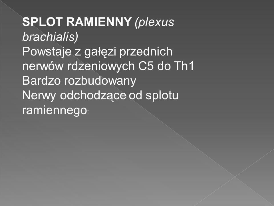 SPLOT RAMIENNY (plexus brachialis)