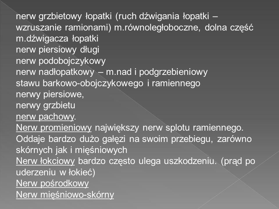 nerw grzbietowy łopatki (ruch dźwigania łopatki – wzruszanie ramionami) m.równoległoboczne, dolna część m.dźwigacza łopatki