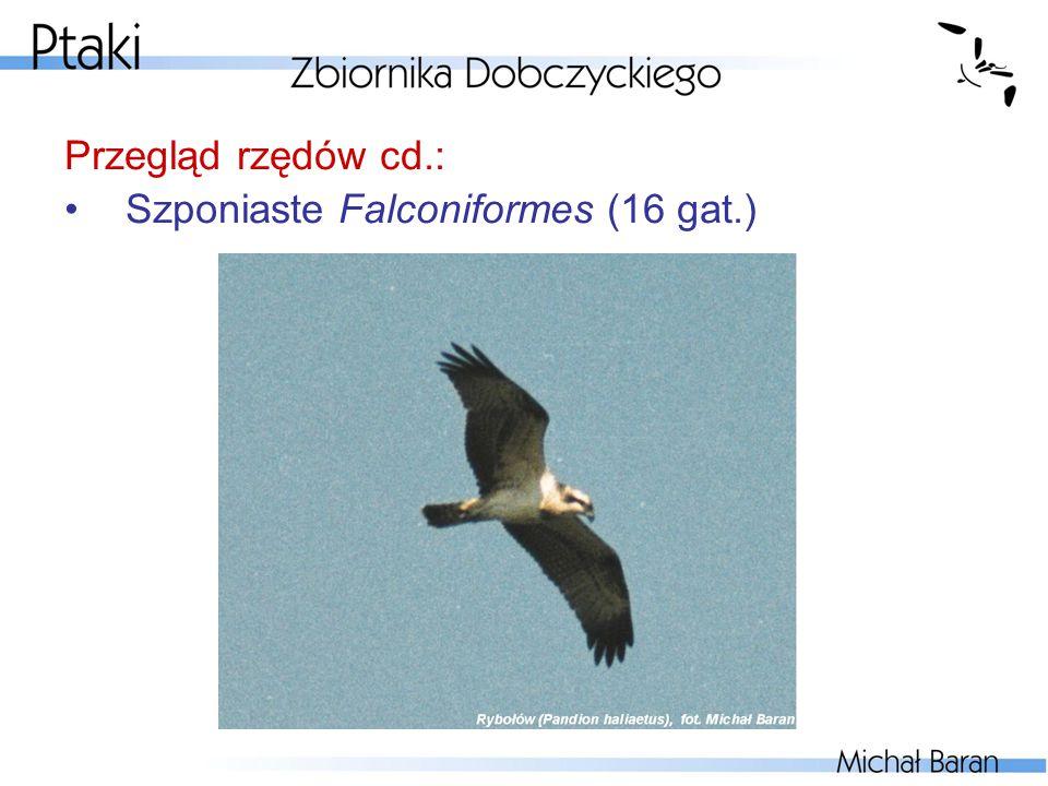 Przegląd rzędów cd.: Szponiaste Falconiformes (16 gat.)