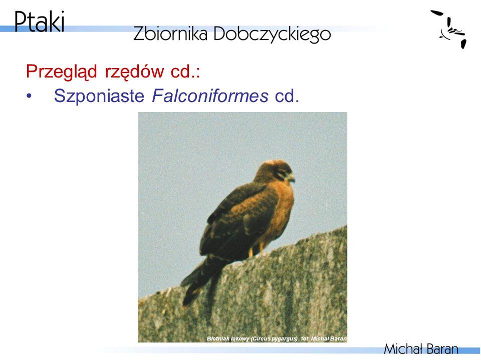 Przegląd rzędów cd.: Szponiaste Falconiformes cd.