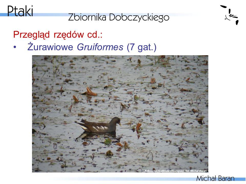 Przegląd rzędów cd.: Żurawiowe Gruiformes (7 gat.)