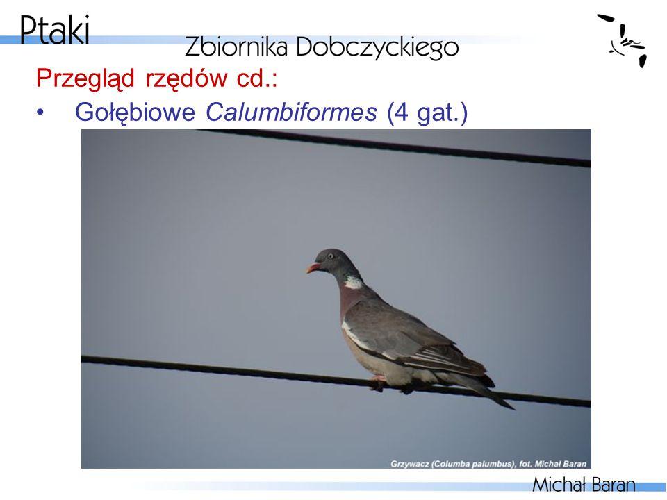 Przegląd rzędów cd.: Gołębiowe Calumbiformes (4 gat.)