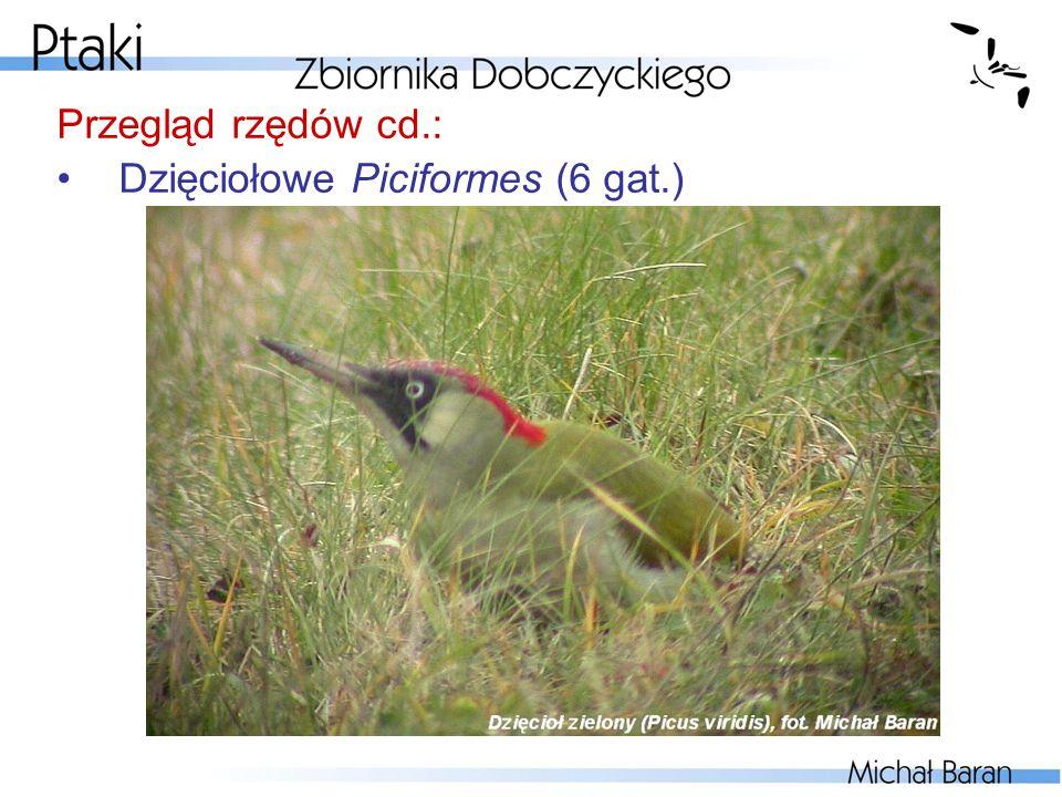 Przegląd rzędów cd.: Dzięciołowe Piciformes (6 gat.)