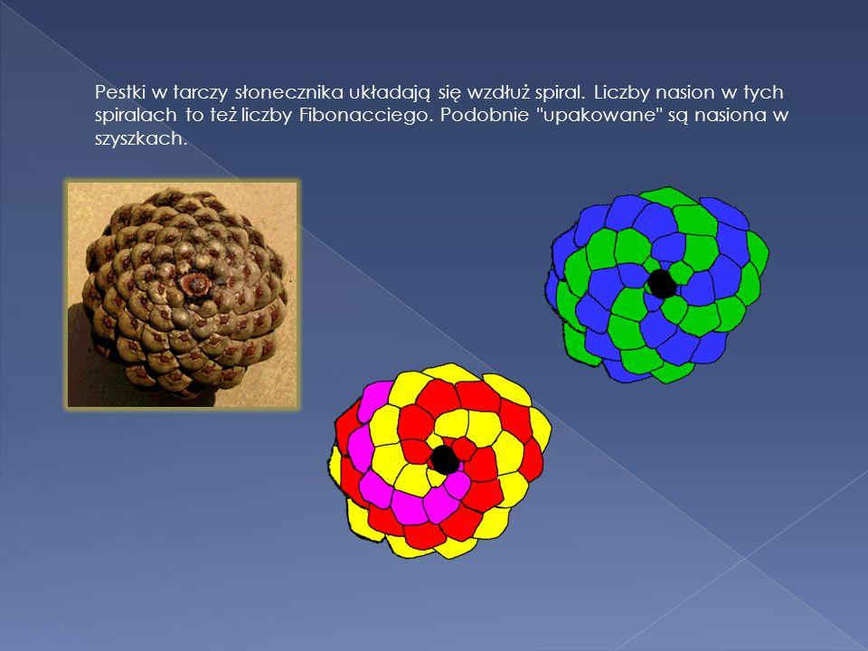 Pestki w tarczy słonecznika układają się wzdłuż spiral