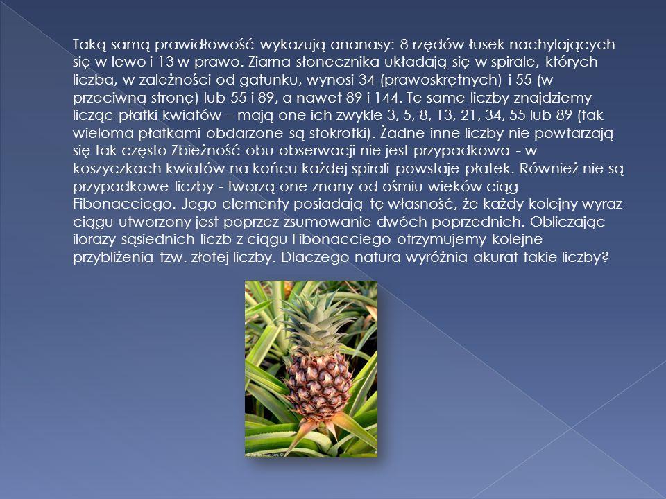 Taką samą prawidłowość wykazują ananasy: 8 rzędów łusek nachylających się w lewo i 13 w prawo.