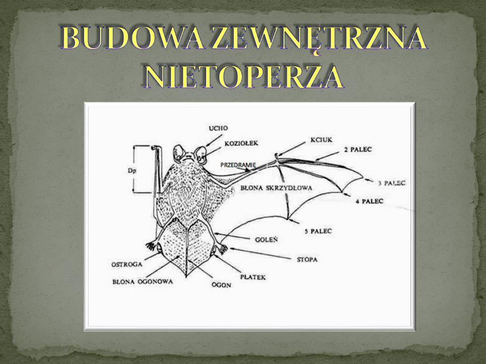 BUDOWA ZEWNĘTRZNA NIETOPERZA
