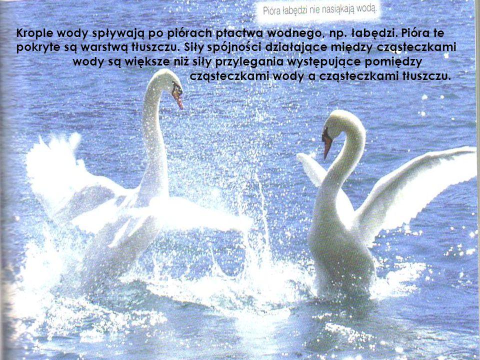 Krople wody spływają po piórach ptactwa wodnego, np. łabędzi