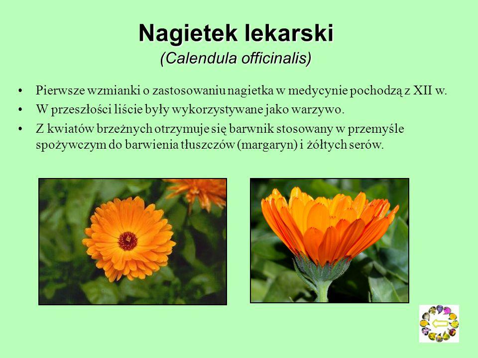 Nagietek lekarski (Calendula officinalis)