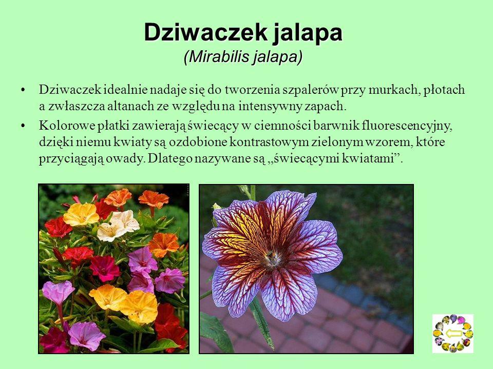 Dziwaczek jalapa (Mirabilis jalapa)