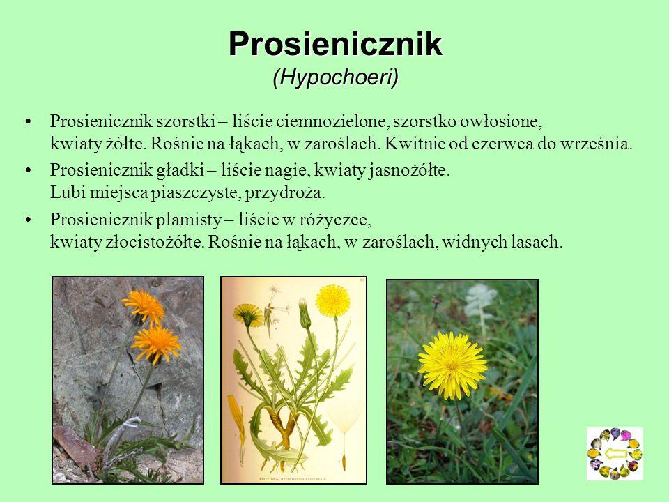 Prosienicznik (Hypochoeri)