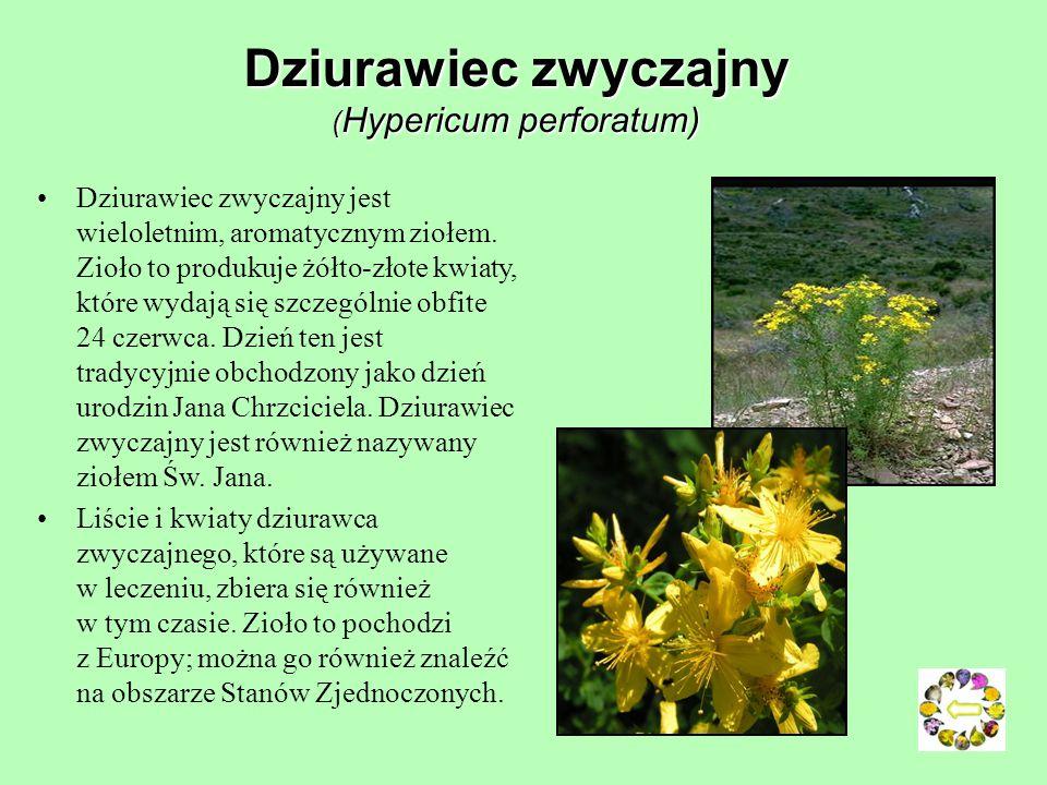 Dziurawiec zwyczajny (Hypericum perforatum)