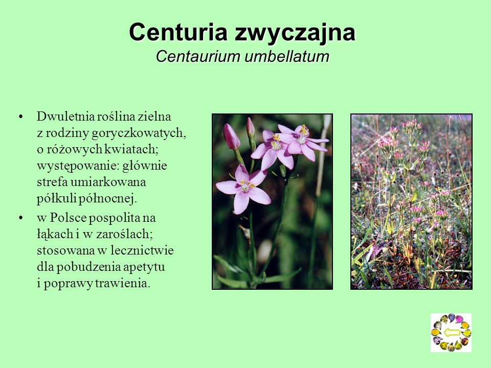 Centuria zwyczajna Centaurium umbellatum