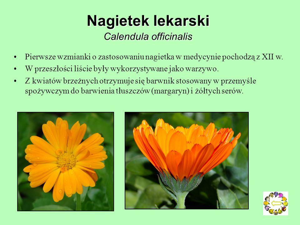Nagietek lekarski Calendula officinalis