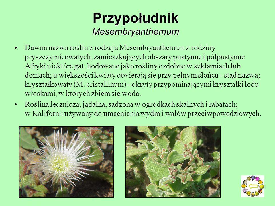 Przypołudnik Mesembryanthemum