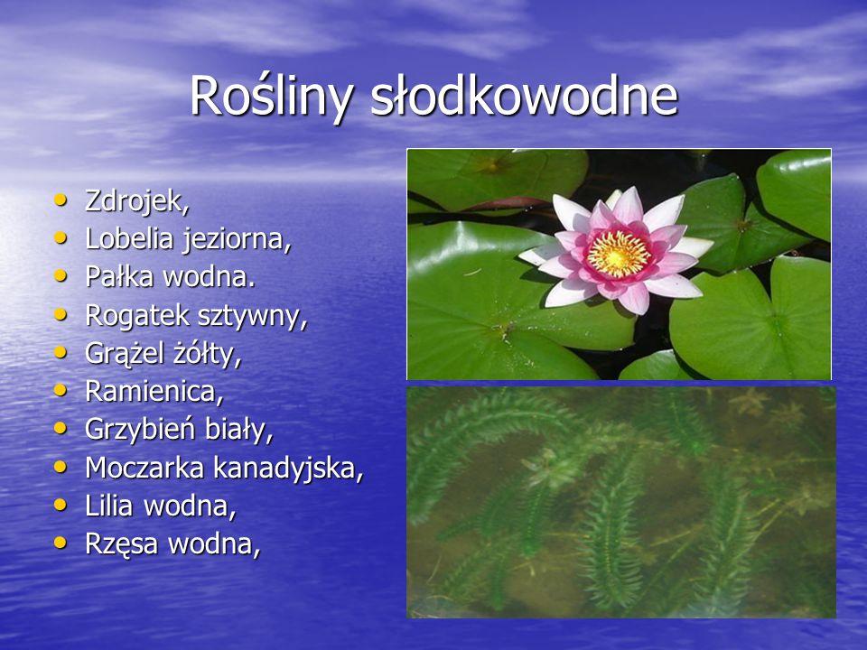 Rośliny słodkowodne Zdrojek, Lobelia jeziorna, Pałka wodna.