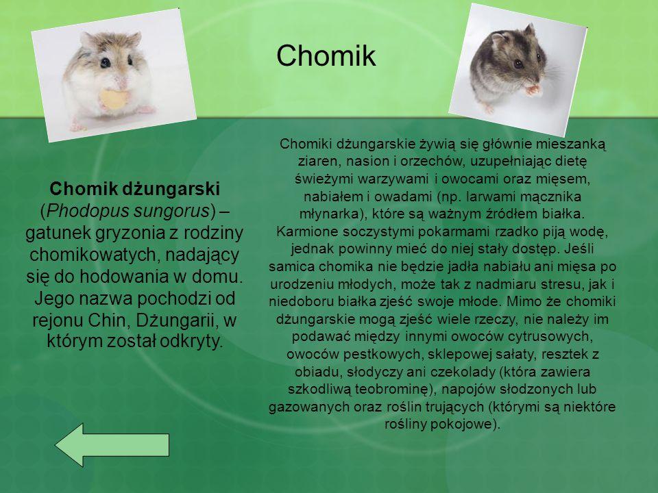 Chomik