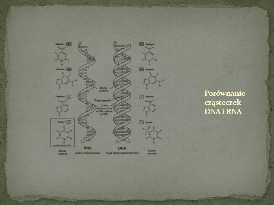 Porównanie cząsteczek DNA i RNA