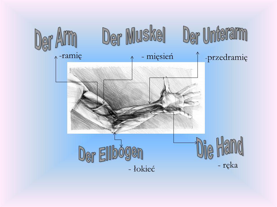 -ramię - mięsień - ręka - łokieć Der Unterarm Der Arm Der Muskel