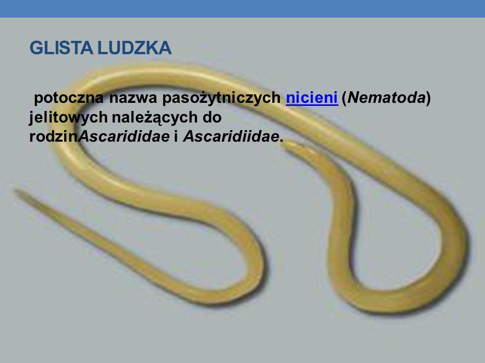 Glista Ludzka potoczna nazwa pasożytniczych nicieni (Nematoda) jelitowych należących do rodzinAscarididae i Ascaridiidae.
