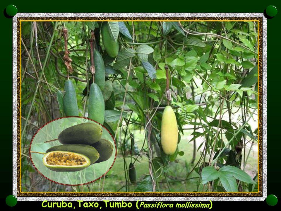 Curuba,Taxo,Tumbo (Passiflora mollissima)