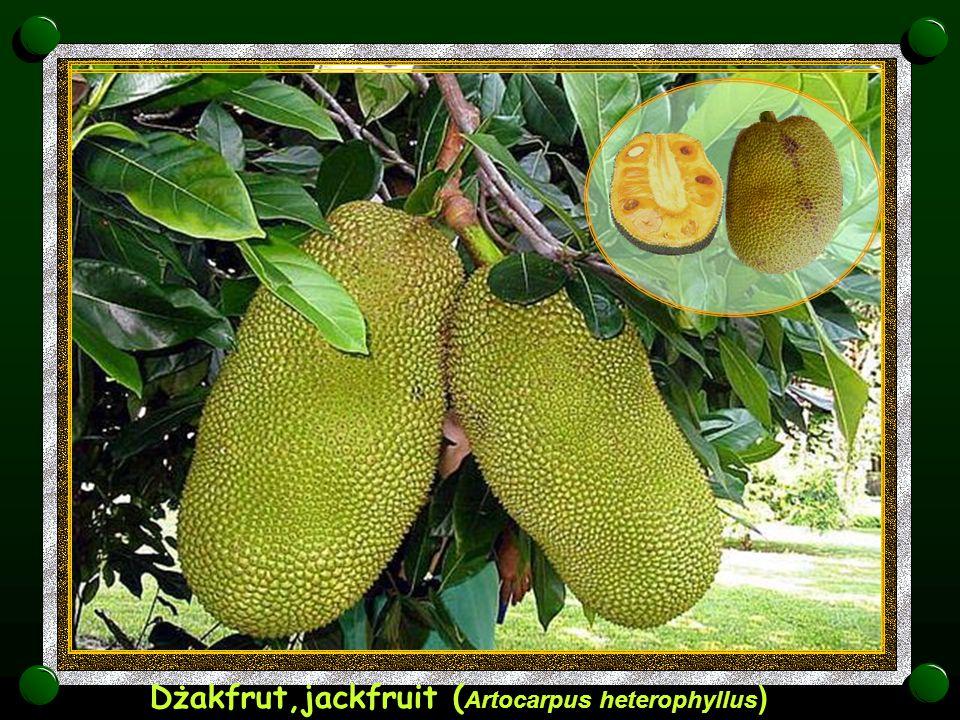 Dżakfrut,jackfruit (Artocarpus heterophyllus)