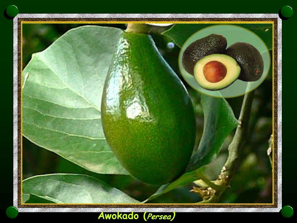 Awokado (Persea)