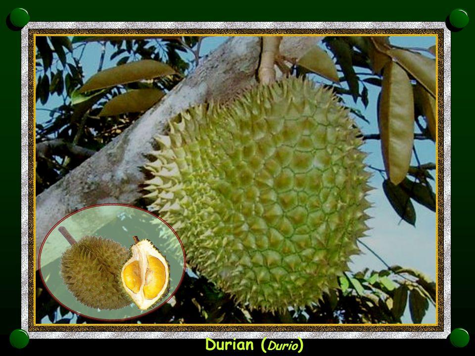 Durian (Durio)