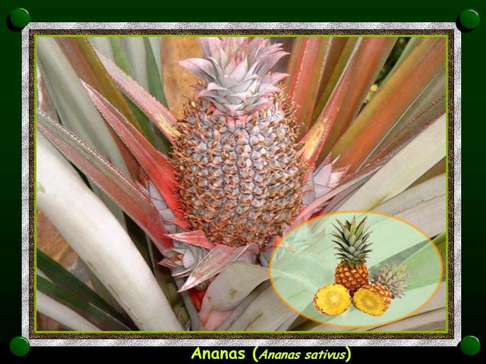 Ananas (Ananas sativus)
