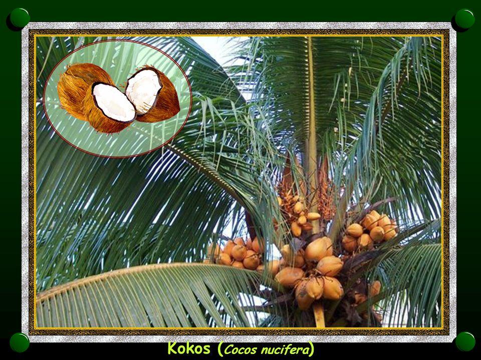 Kokos (Cocos nucifera)