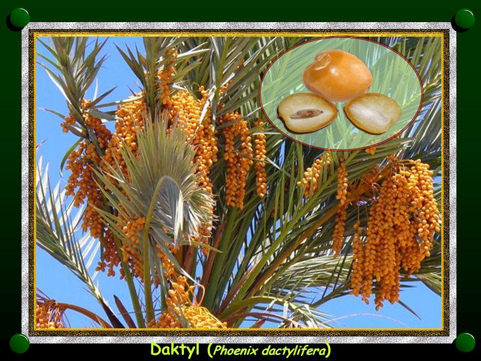 Daktyl (Phoenix dactylifera)