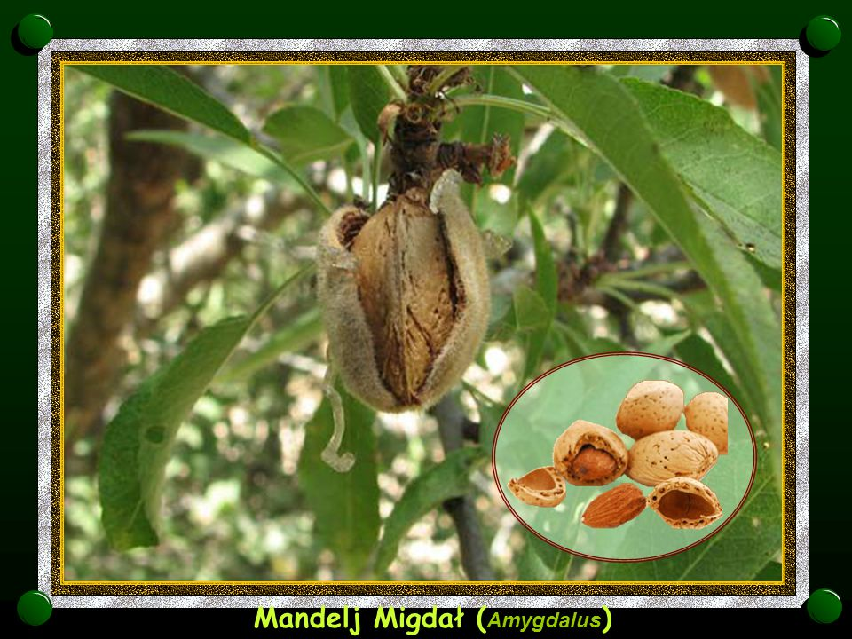 Mandelj Migdał (Amygdalus)