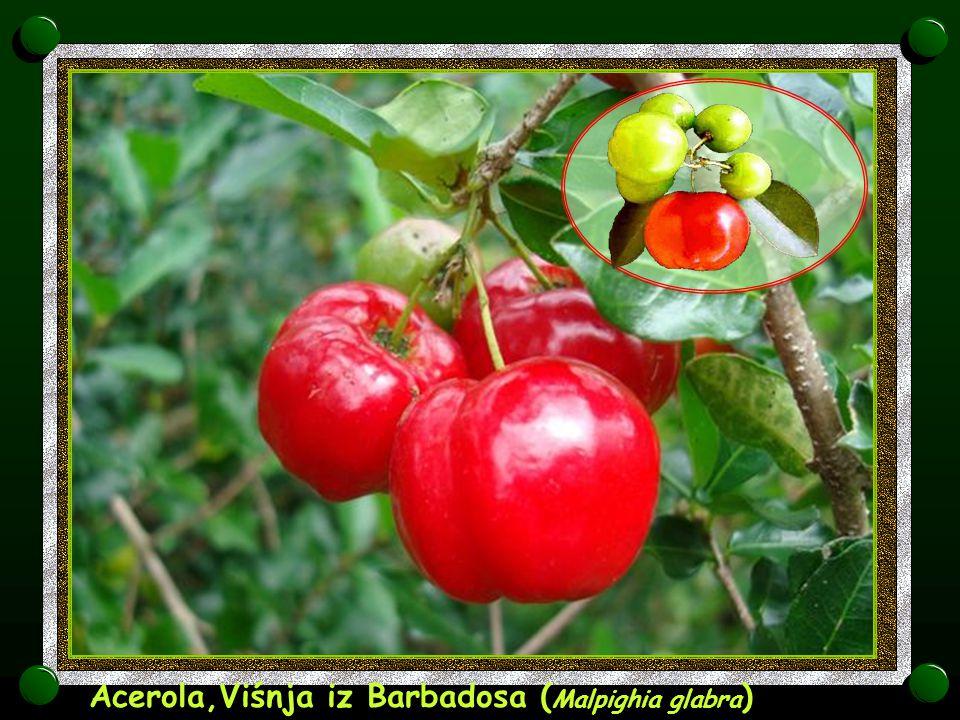 Acerola,Viśnja iz Barbadosa (Malpighia glabra)